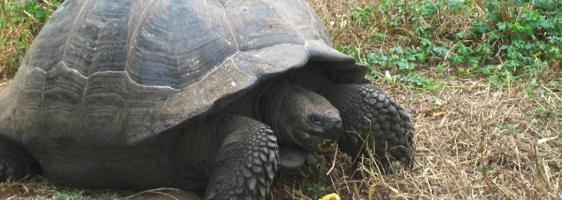 Wie ich auf Galapagos Riesenschildkröten fütterte