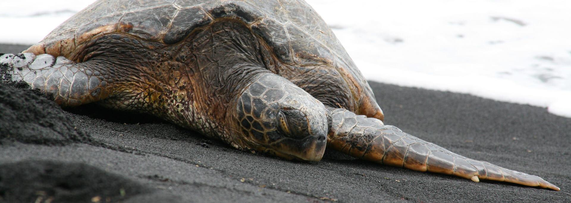 Fotos: Punalu'u Schildkröten auf Hawaii