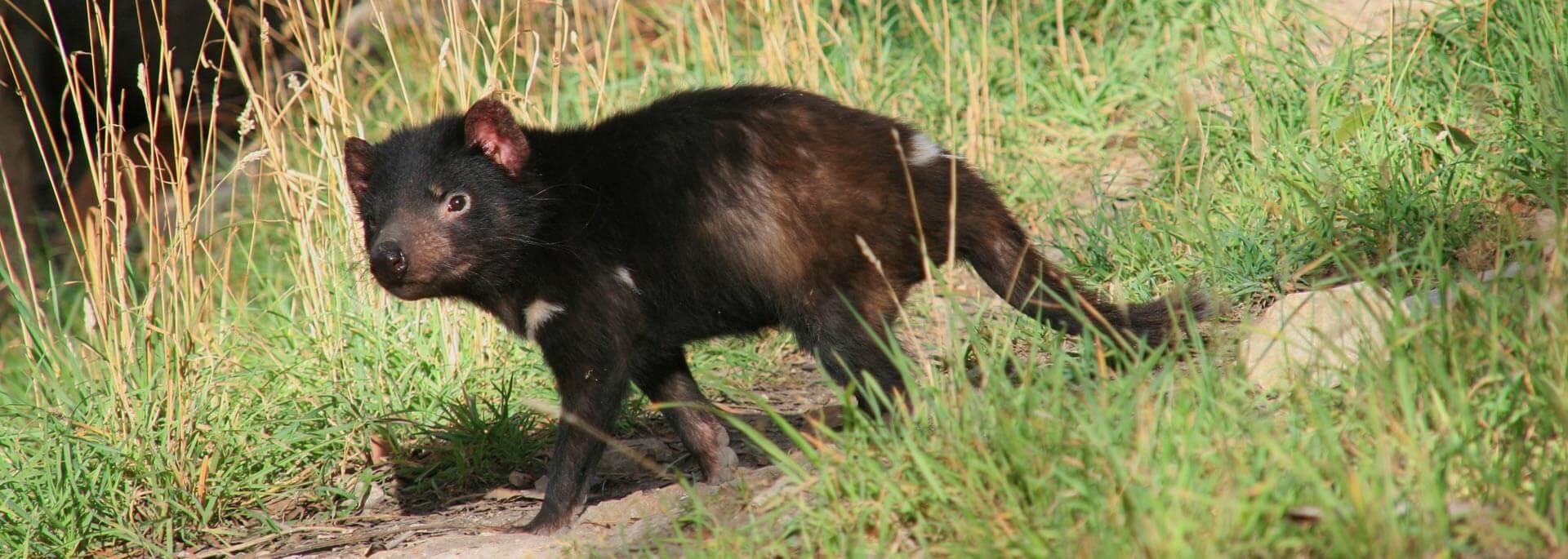 Wie ich eine Tasmanischen Teufel knuddeln wollte