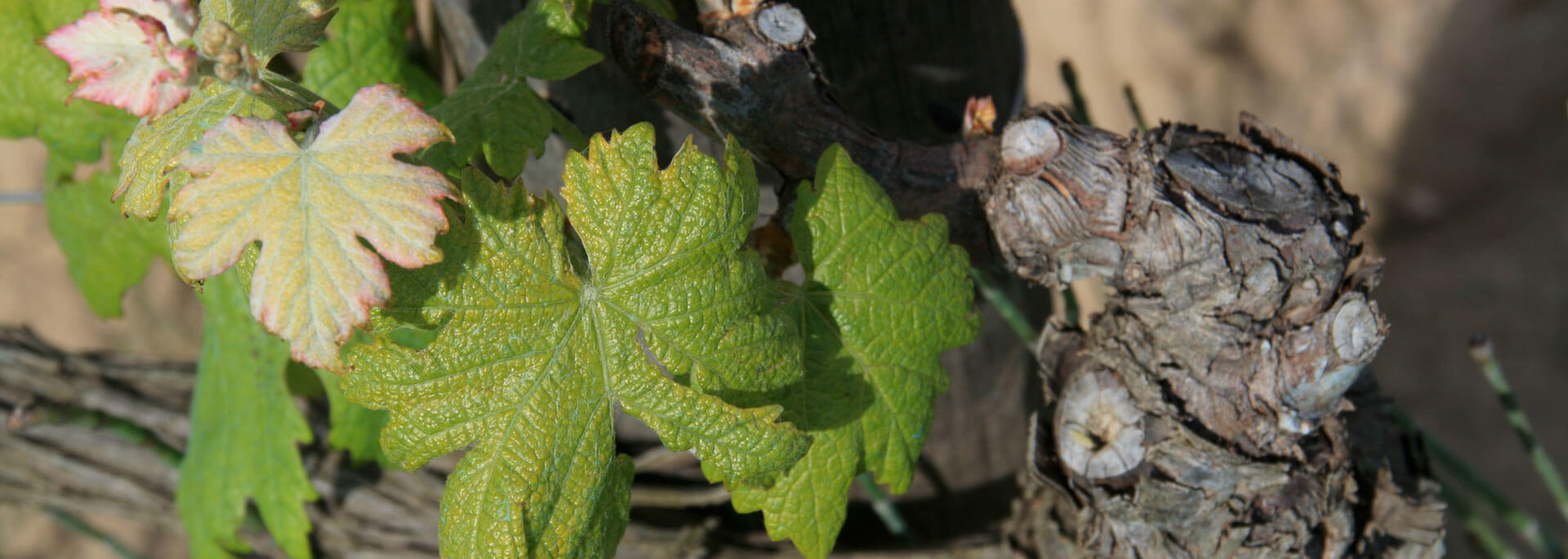 Wie ich Elbas seltene Weinsorten süffelte und edles Parfüm schnupperte