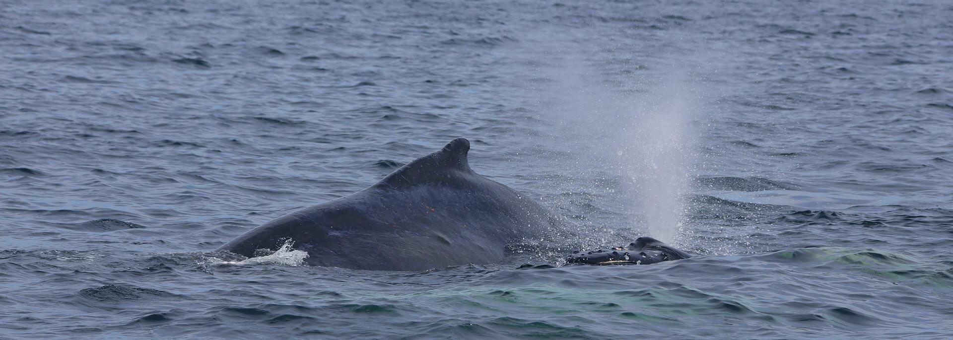 Wie ich auf der Bay of Fundy buckligen Walen nachjagte