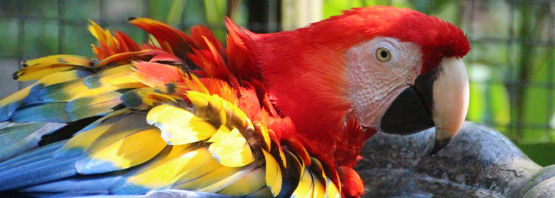 Die heiligen Papageien der Mayas in Macaw Mountain