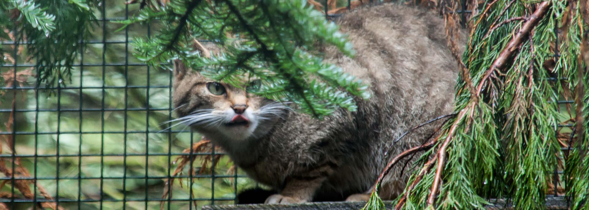 Wie ich in Schottland auf die Wildkatze kam