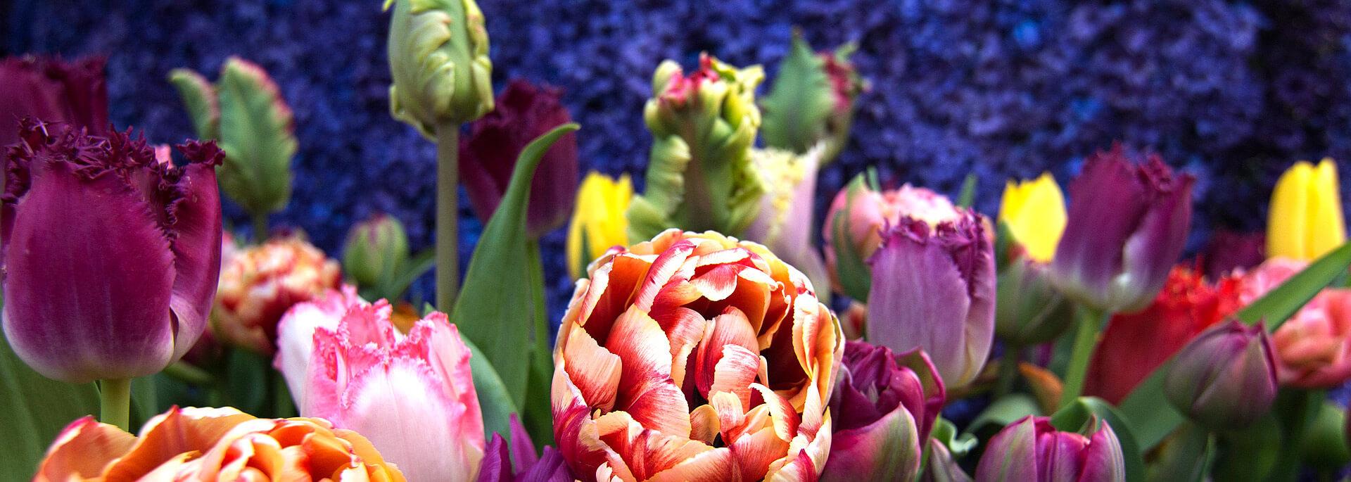 Wie ich in Holland ins Blumenwunderland fiel